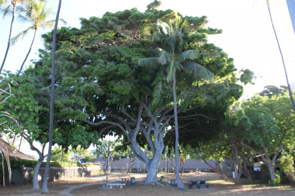 バニアンツリー,ハワイ