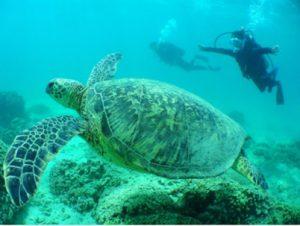 ハワイ,スキューバ,ウミガメ