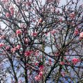 ハワイ,桜,ワヒアワ
